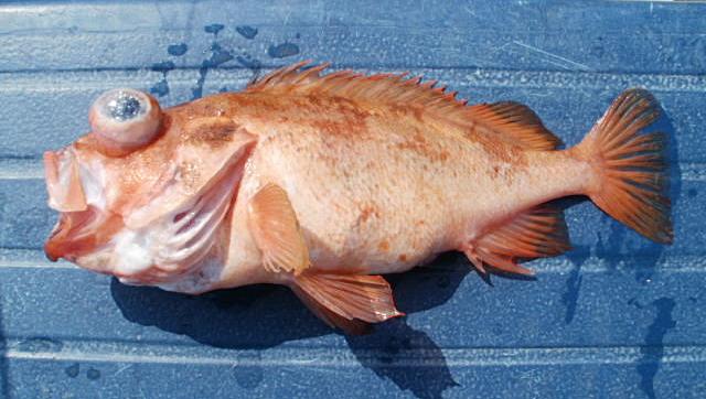 Kungsfisk